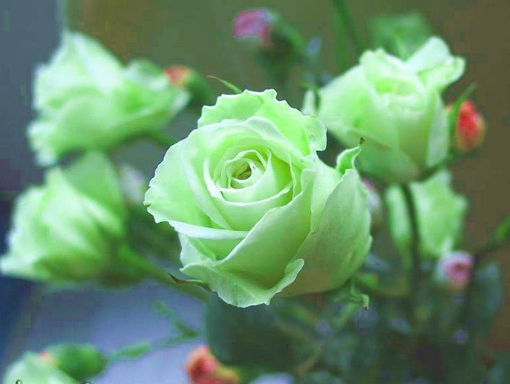 The Meaning And Top 19 Beautiful Green Roses Favorite Things