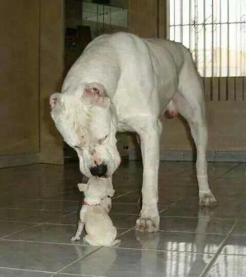 Dogo Argentino Playing With A Chihuahua Dog Argentino Beautiful