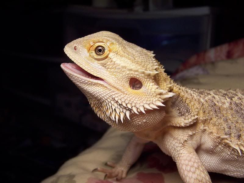Free Daily Desktop Android Iphone Wallpaper By Webshots Bearded Dragon Bearded Dragon Terrarium Bearded Dragon Care