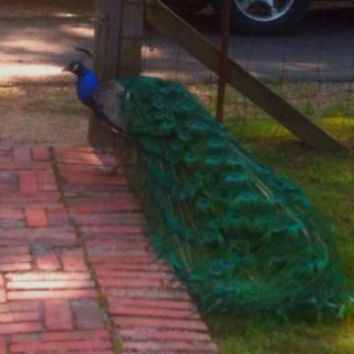 Someday, I want a pet peacock. The ultimate yard ornament