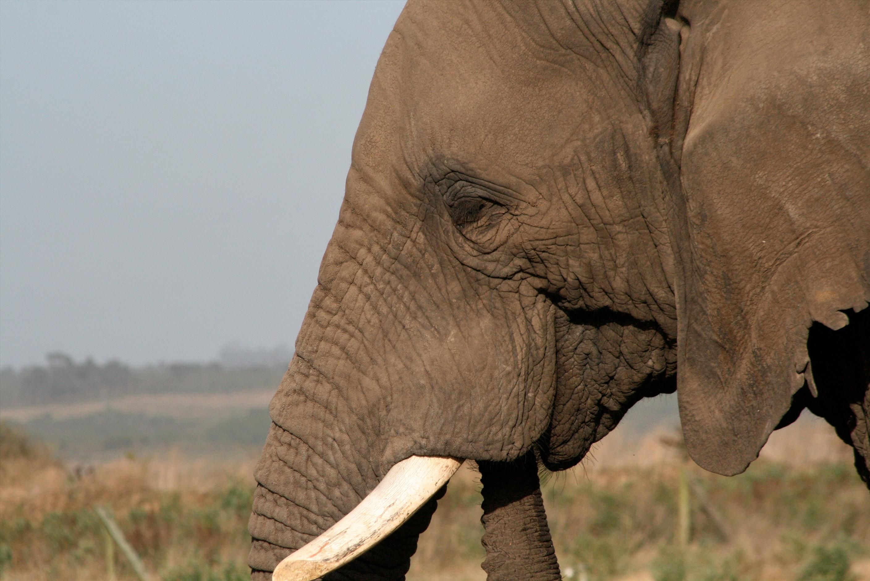 Elephant closeup, Garden Route Game Lodge, South Africa