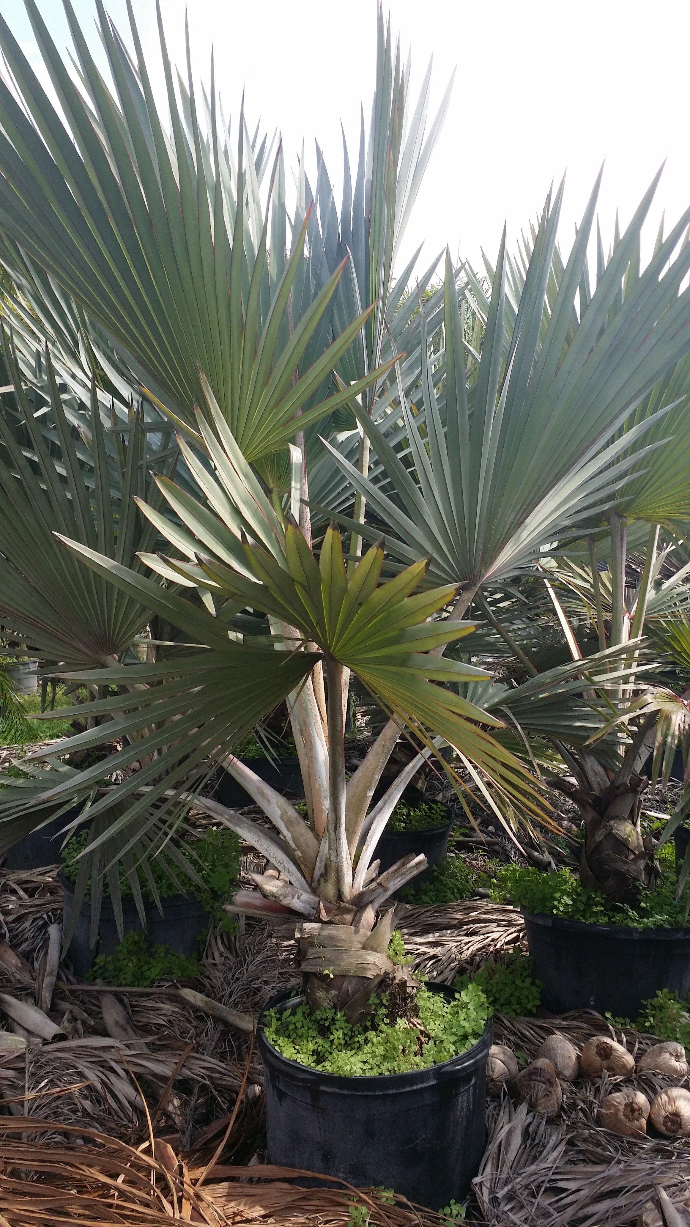 Homestead Rare Palms Nursery Wholesale Palm Trees Blue