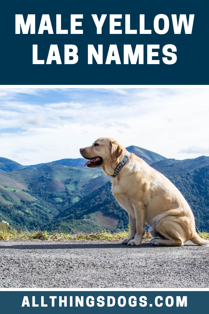Choosing the perfect name for a male lab can seem like a