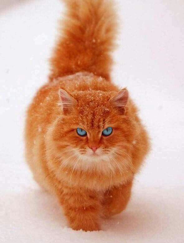 Orange Tabby In Snow Tap The Link For An Awesome Selection Cat And