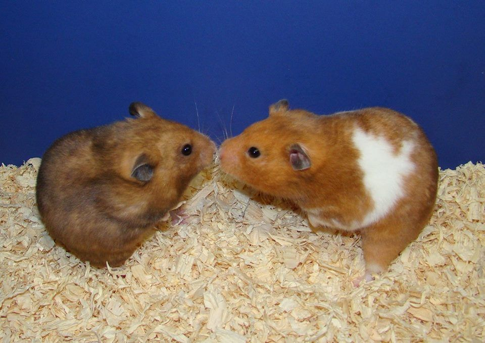 Yellow Black Sh Hamster Aatoto Y L And Yellow Chocolate Sh Hamster Aabbtoto Y Ba L Hamster Syrian Hamster Animals