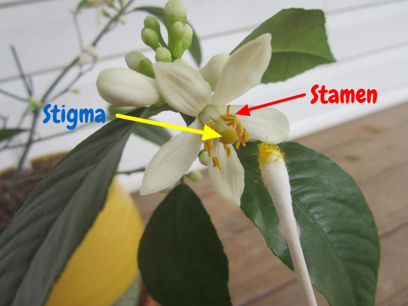 Simply Resourceful How To Pollinate A Meyer Lemon Tree Meyer Lemon Tree Lemon Tree From Seed Indoor Lemon Tree