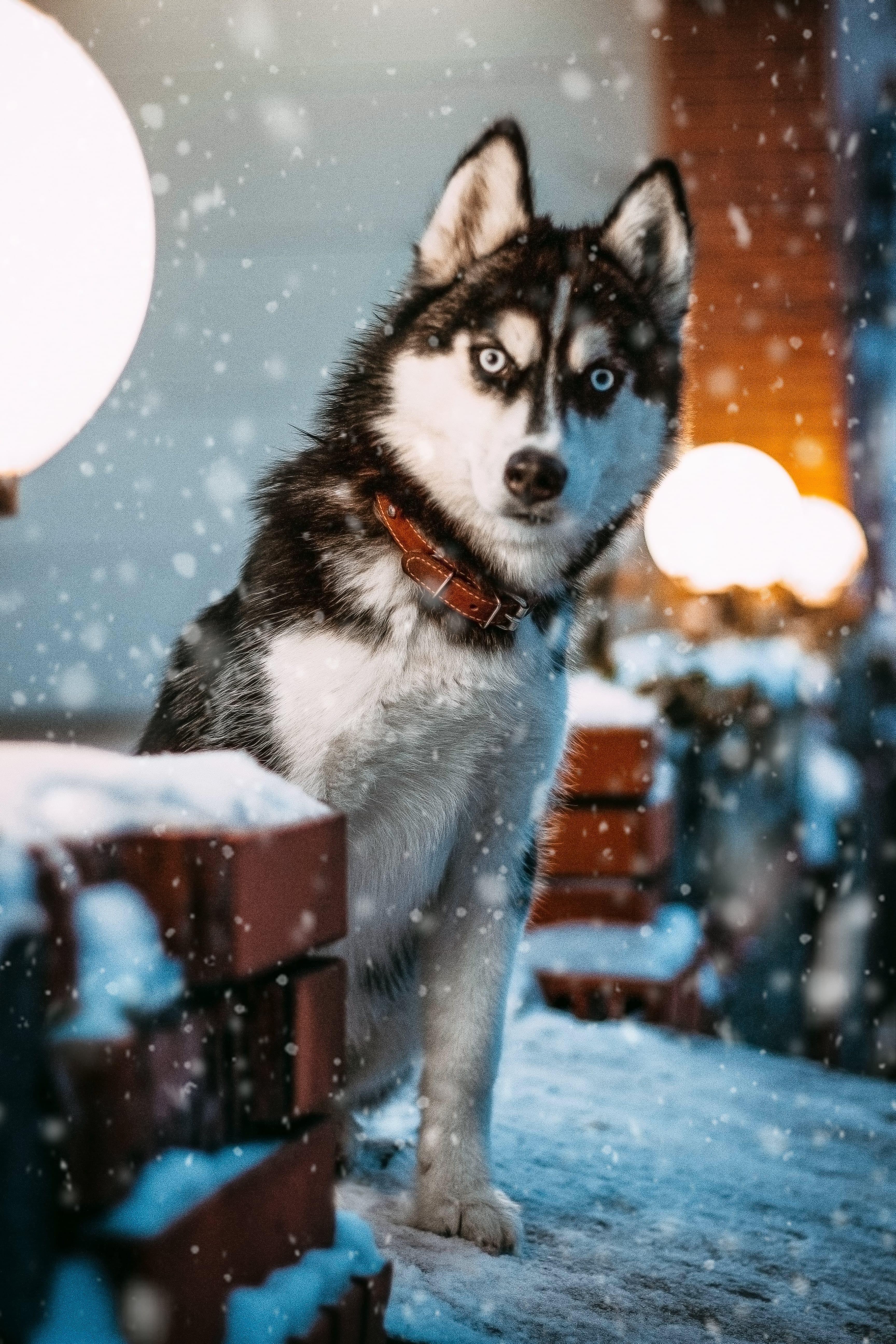 Photo Of Siberian Husky In 2020