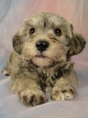 Schnoodle Puppy But This Is What Gabby Would Have Looked Like As