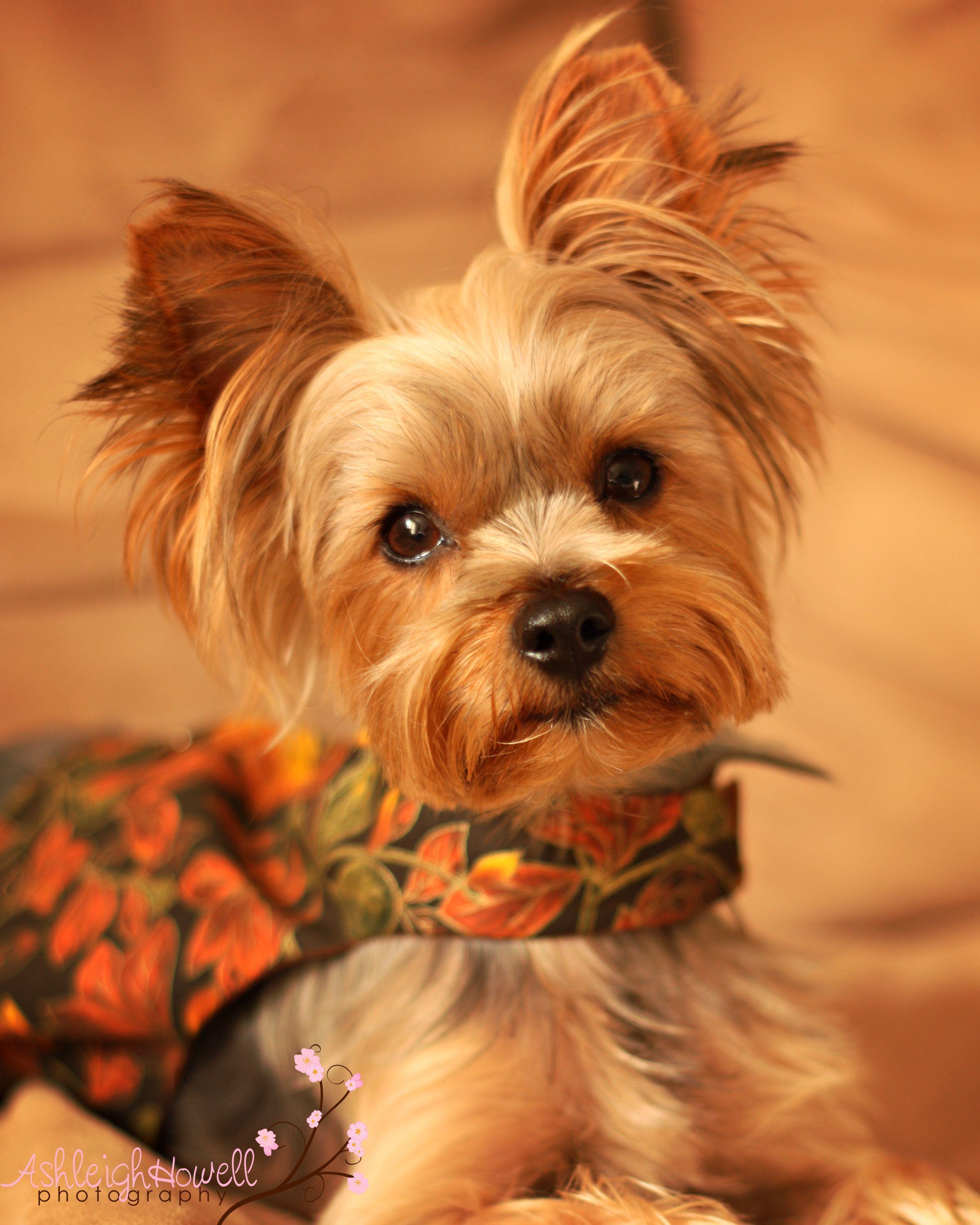 .yorkshire Terrier Dogs Puppy Hound Pups Dog Puppies ...
