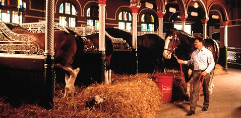 Stables of the iconic Clydesdale horses at the Anheuser-Busch Brewery Tour