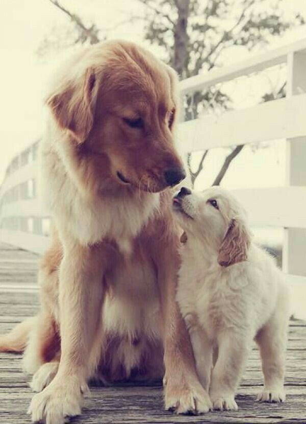 Image By Saturn Apartments On Scute Dogs Golden Retriever