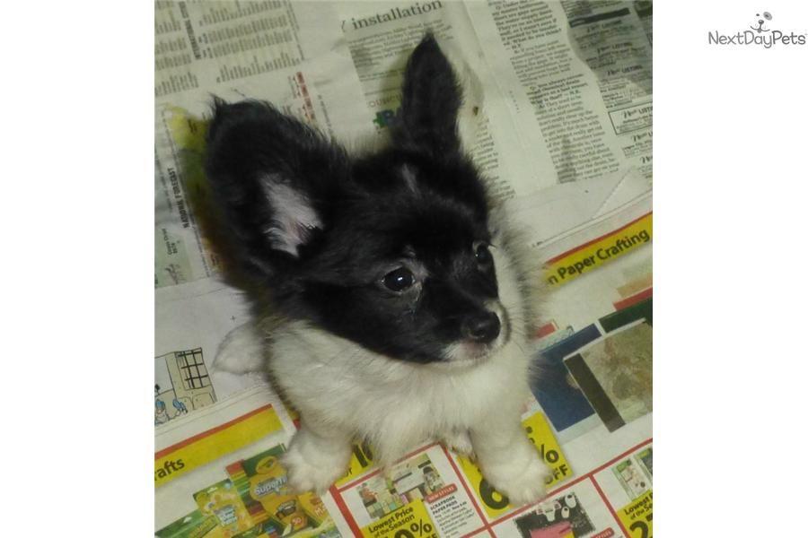 Meet Oreo A Cute Papillon Puppy For Sale For 700 Akc Black White