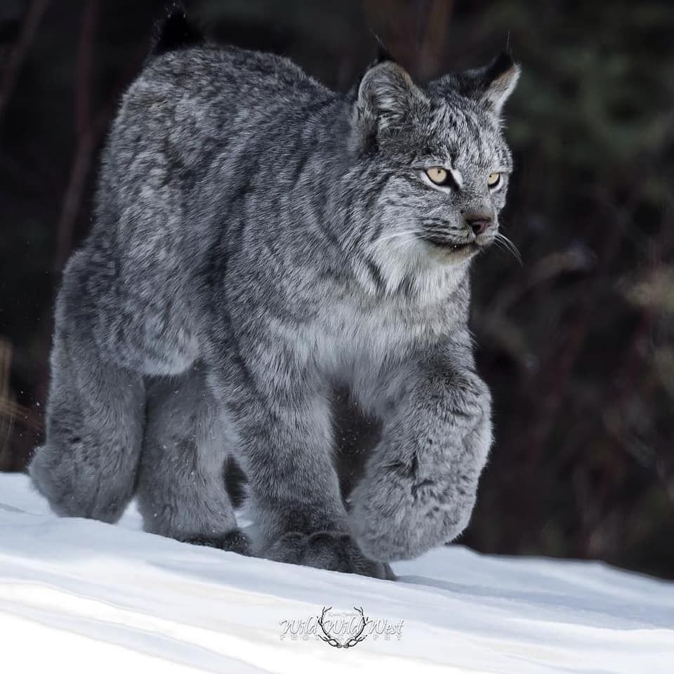 Canadian Lynx Paw with Nails