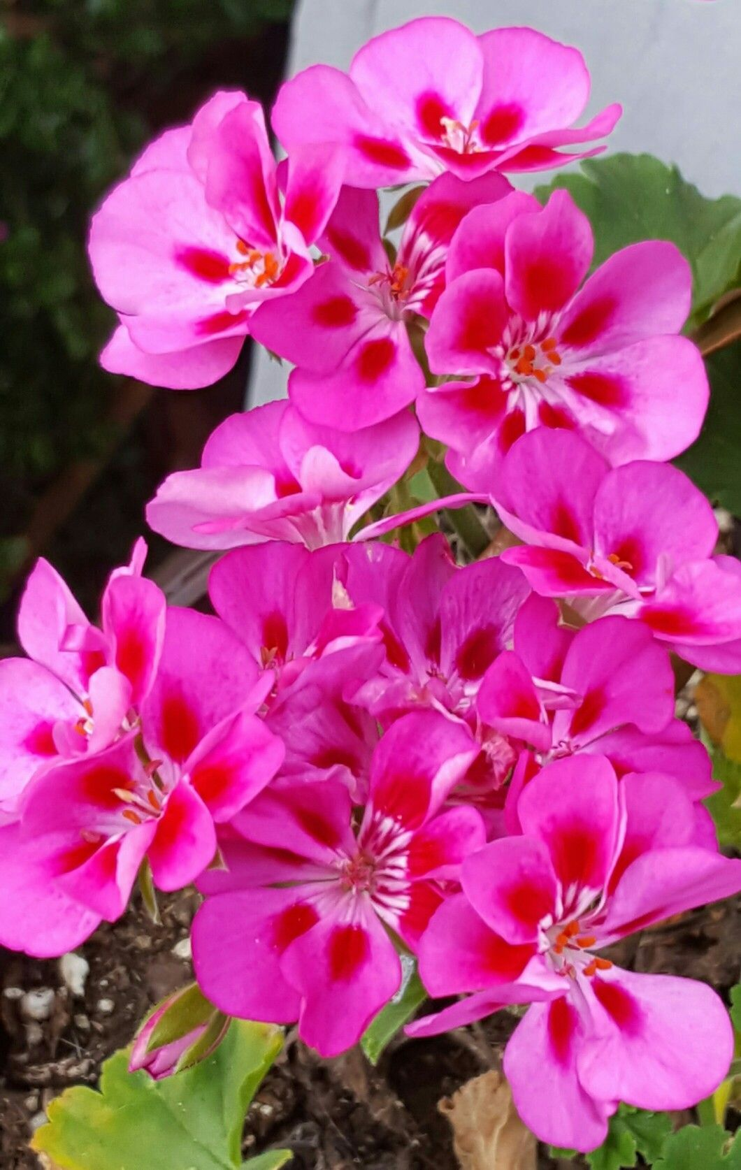 Lovely hot pink geranium flowers annuals flowers pinterest lovely hot pink geranium flowers annuals izmirmasajfo