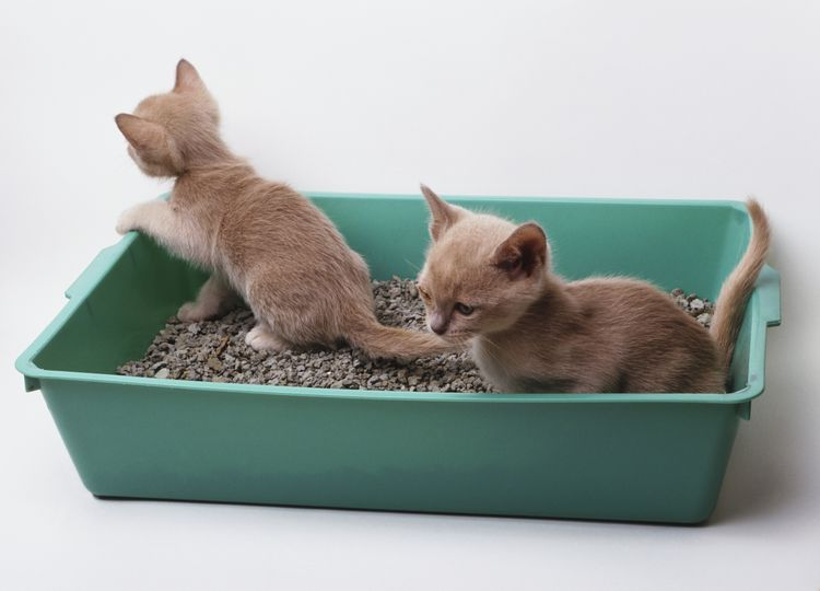 How To Train Your Kitten To Use The Litter Box Cat Training Litter Box Best Litter For Kittens Best Cat Litter