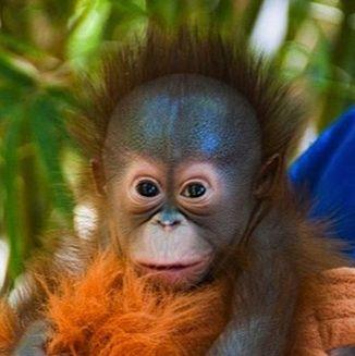 orangutan   Animals wild, Animals beautiful, Baby orangutan