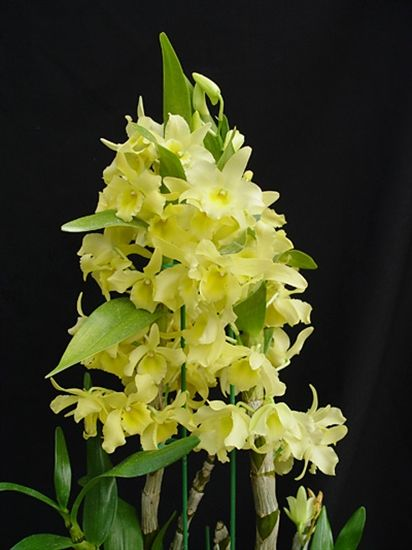 Yellow dendrobium orchid dendrobium yellow song canary yellow dendrobium orchid dendrobium yellow song canary mightylinksfo Images