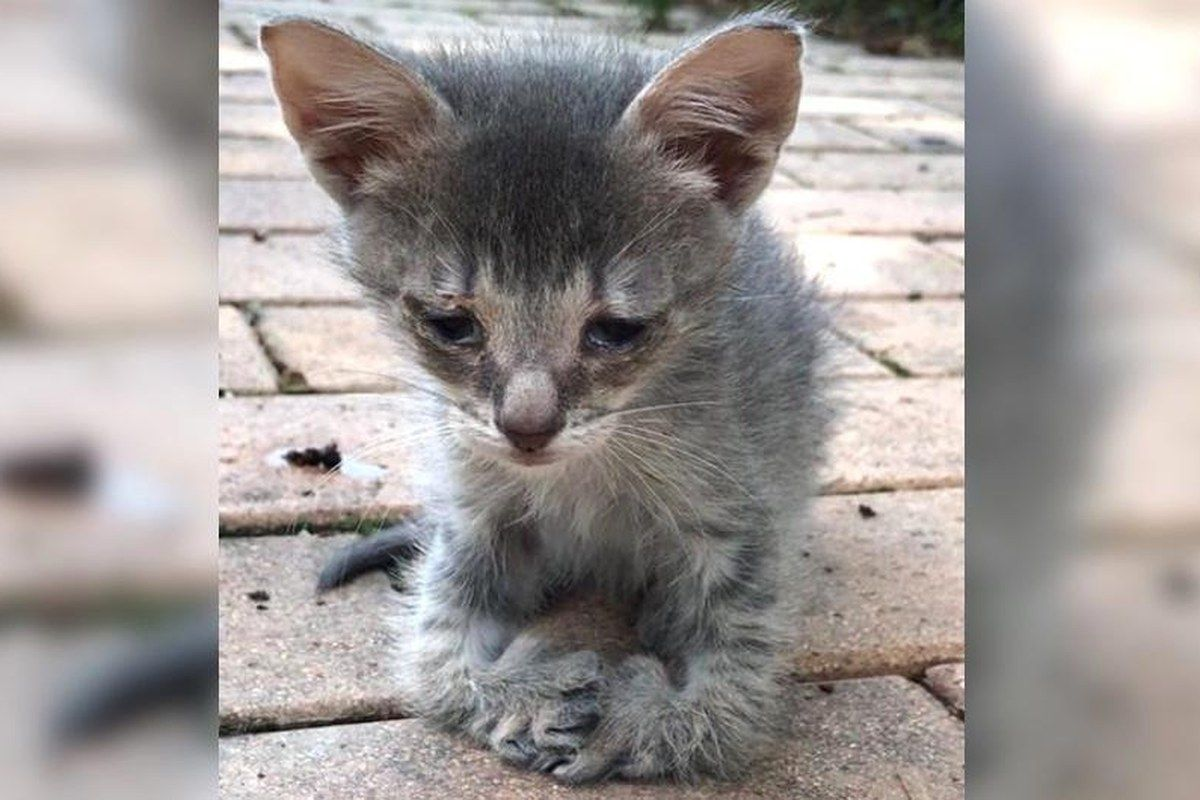 Kitten With Special Feet Walks Up To Woman For Love Now 2 Weeks After Rescue Animal Shelters Near Me Kitten Animals