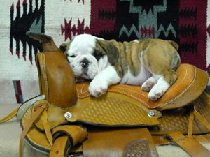 Bulldogs Other Things I Love Bulldog Puppies Dogs Animals