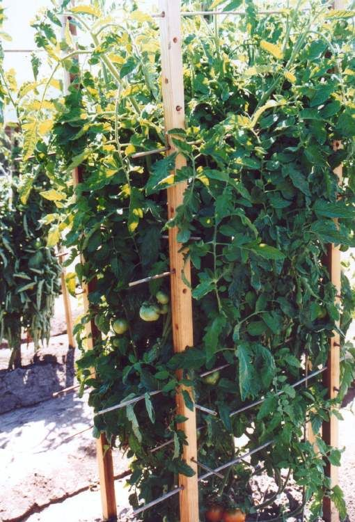 Tomato Staking Techniques Evaluation | Master Gardeners Of Santa Clara  County    Square Wooden Cage