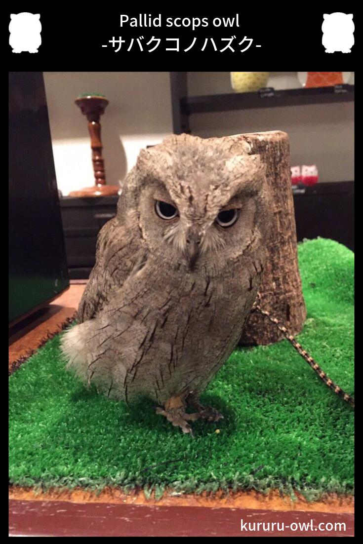 サバクコノハズク Pallid Scops Owl かわいいペット ペット フクロウ