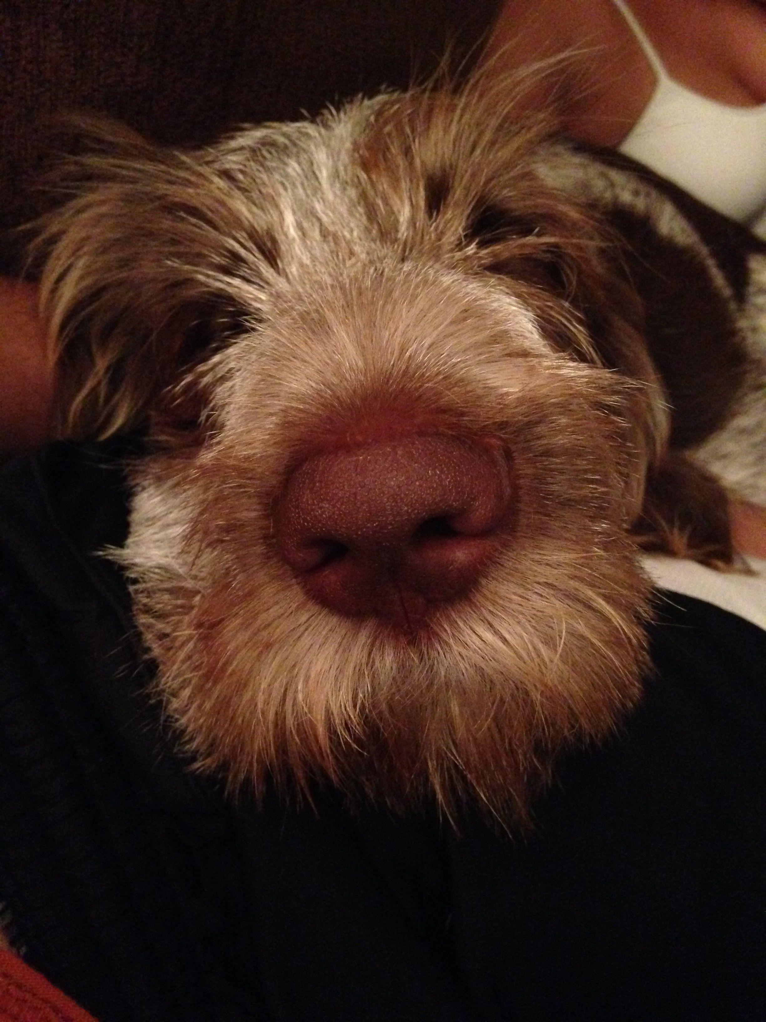 Image of italian spinone brown roan young puppy blue sitting cute - Italian Spinone Between Nose