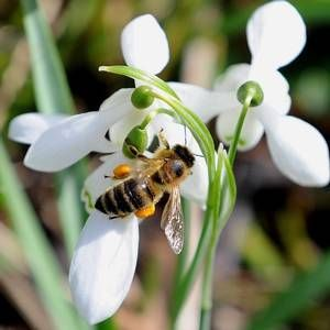 Bacteria found in honeybees could be used as an alternative to antibiotics and in the fight against antibiotic-resistant strains of MRSA, scientists have claimed.