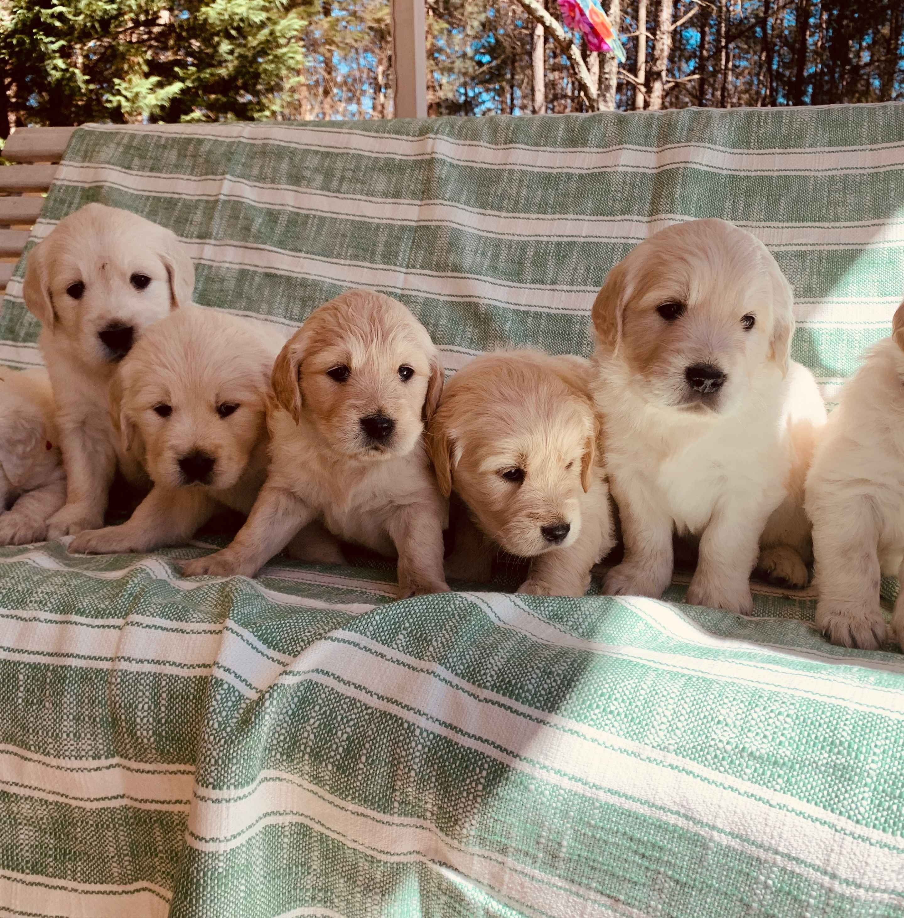 Colby Kristin Anderson Has Golden Retriever Puppies For Sale In