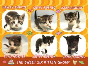 The Sweet Six Kitten Group A1087178 A1087182 A1087186 A1087189 A1087194 A1087195 Kittens Foster Cat Cat Adoption