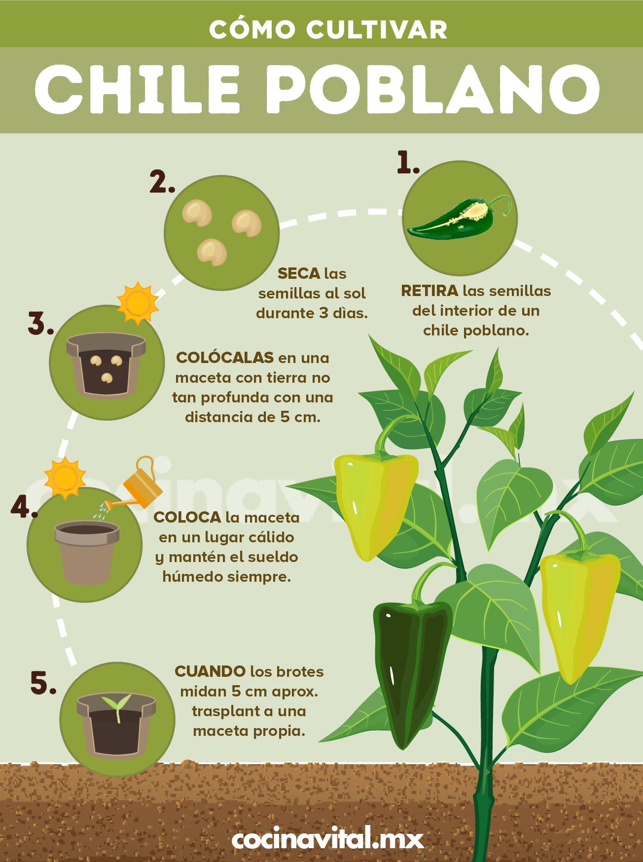 Cómo Cultivar Chiles Poblanos En Macetas Cultivo De Plantas Jardineria Y Plantas Jardín De Productos Comestibles
