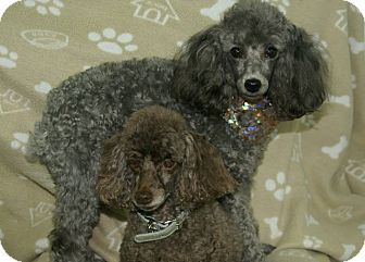 Hawk Point Mo Toy Poodle Meet Ruby And Max A Dog For
