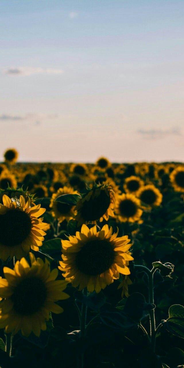 Flores, Sunflower, wallpaper, sky aesthetic sunflower