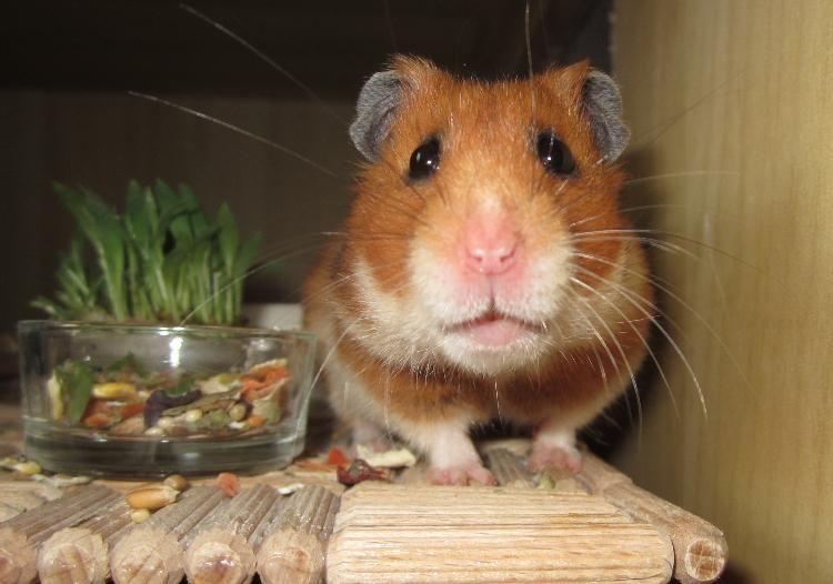 So Traurig Der Kleine Hamster Aber Mit Dem Blick Findet Er Schnell Ein Neues Zuhause Hamster Tiere Baby
