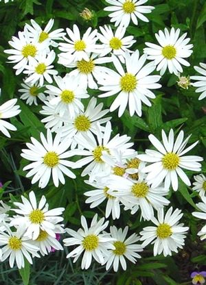 Kalimeris Integrifolia Daisy Mae Japanese Aster Perennial Zones 5 9 Height 2 Ft Perhaps This Should Win The Unusual Plants Plants Easy Plants To Grow