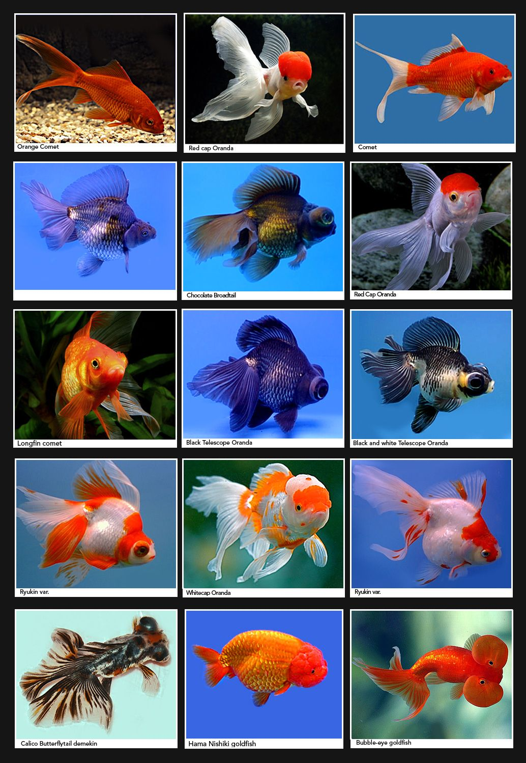 I have an odd obsession with goldfish ya know just what for Popular pond fish