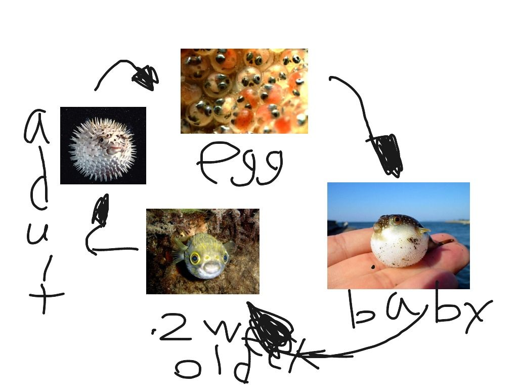 Life Cycle Of A Puffer Fish For Kids