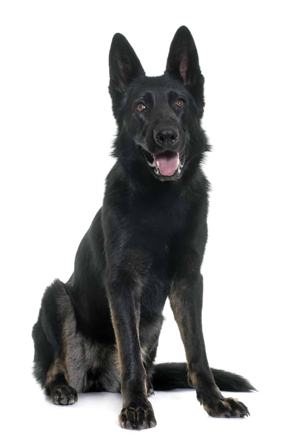 Black german shepherd complete breed guide 2020 black