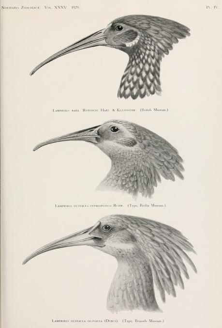 Novitates Zoologicae, Vol 35, 1929-30.