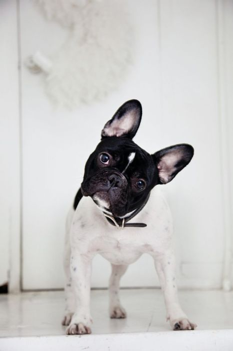 frenchie! (via the selby)