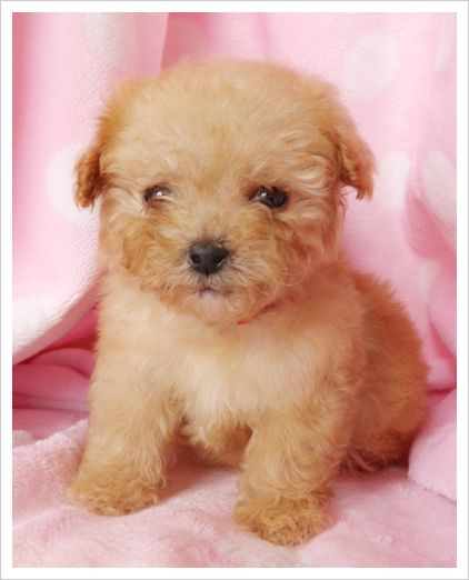 Maltese Puppies For Sale In Miami Fort Lauderdale Fl Cute Dogs Puppies Baby Puppies