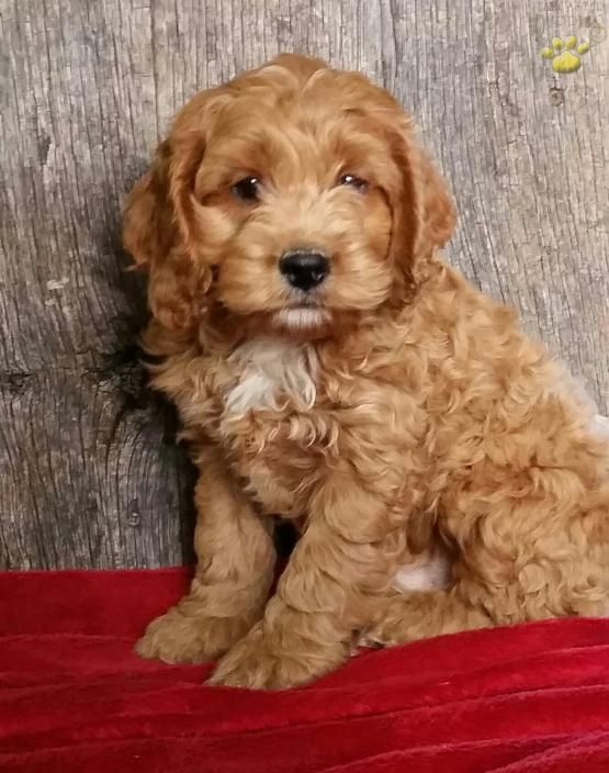 Toby Cockapoo Puppy for Sale in Reedsville, PA (With