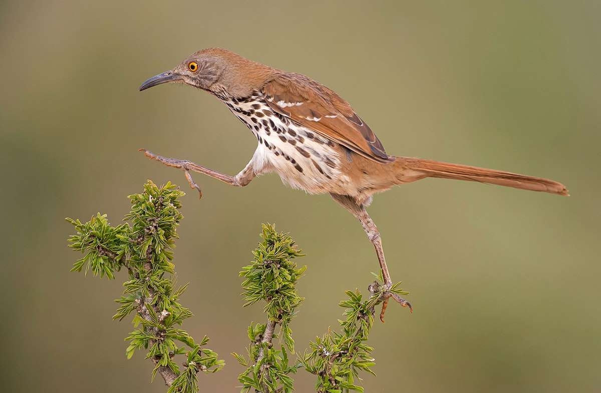 Long-billed Thrasher / Top 100, Professional Category. Hector Astorga / Audubon Photography Awards - Hector D. Astorga / Audubon Photography Awards