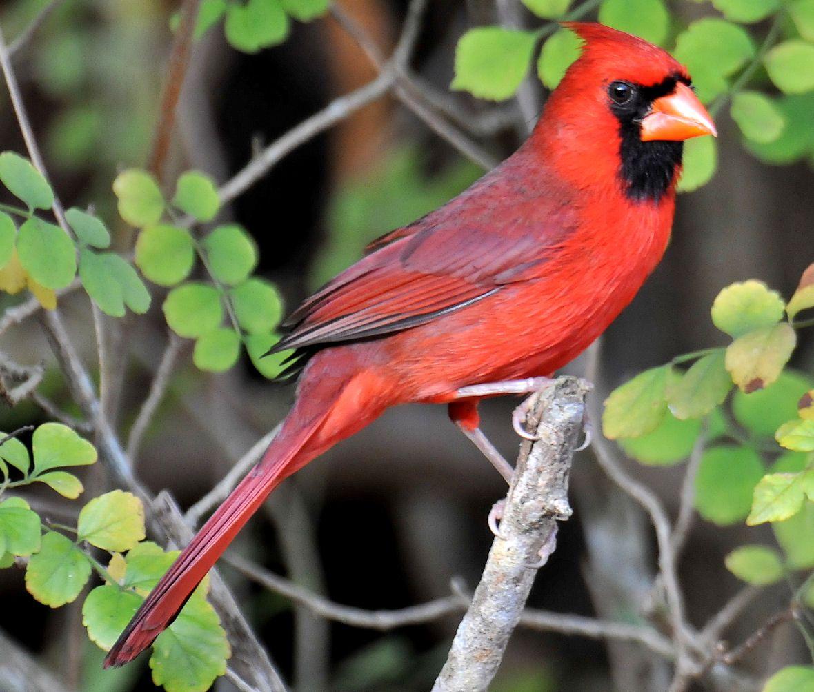 Cardinal Northern Cardinal Male Photographed On