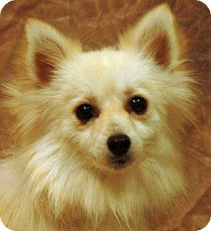 Pictures Of Hannah A American Eskimo Dog Pomeranian Mix For Adoption