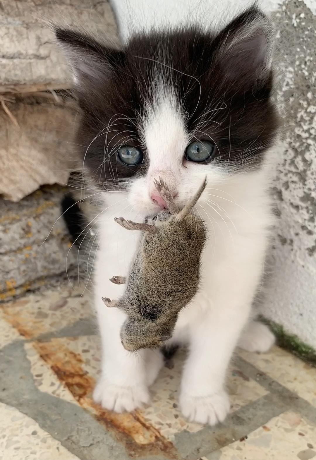 Chaton Video In 2020 Cute Kitten Gif Kittens Cutest Cute Animals