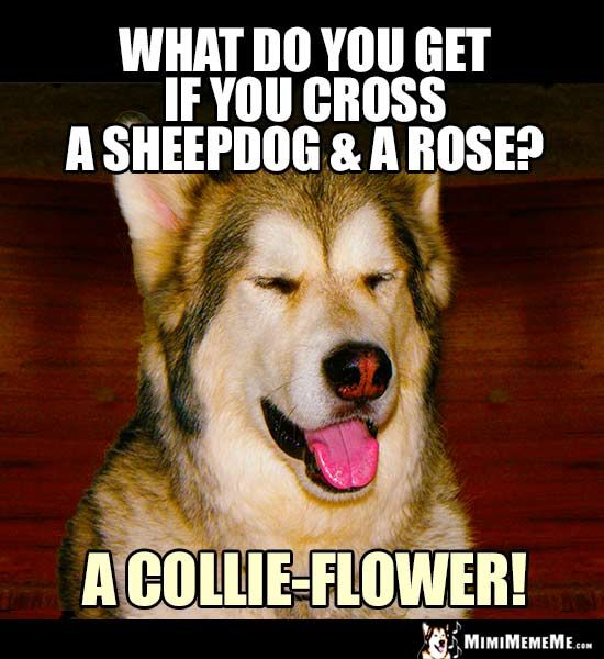 Dog Riddle: What do you get if you cross a sheepdog and a rose? a  collie-flower! | Funny dog jokes, Dog jokes, Funny dog memes