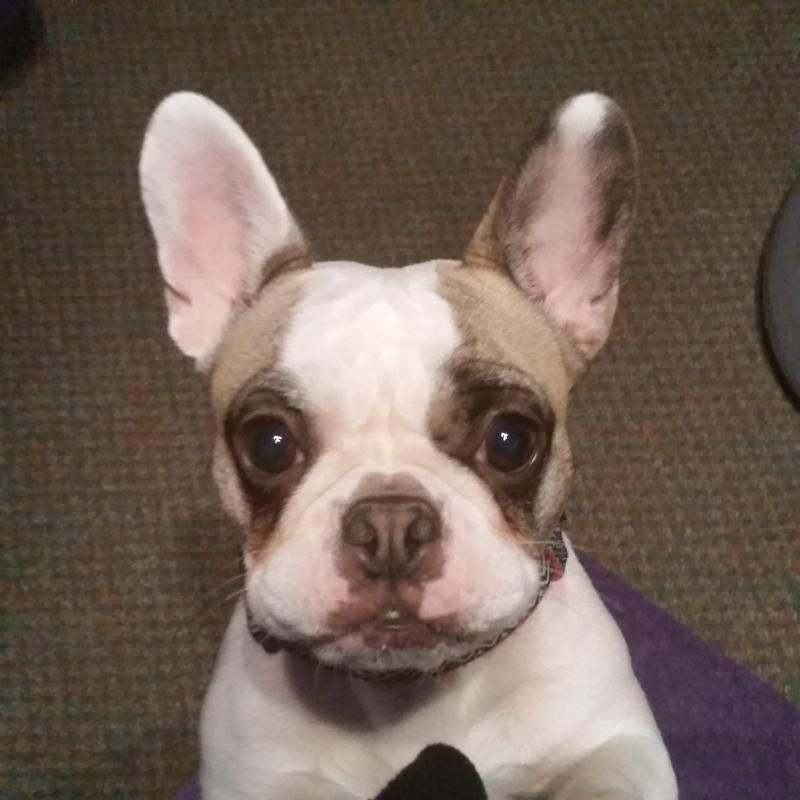 Adopt Kiwi On French Bulldog For Adoption French Bulldog Dogs