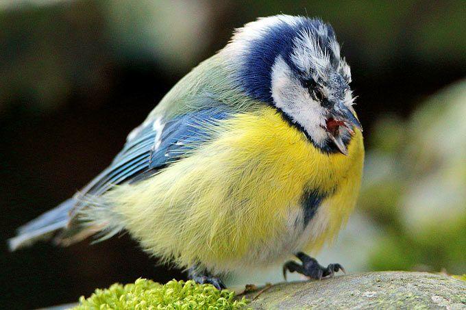 Meldeaktion Zum Meisensterben Nabu Vogel Im Garten Meise Vogelwelt