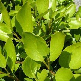 Griselinia Du Littoral Arbuste Feuilles De Plantes Arbustes A