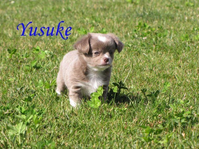 Lilac Chuhuahua Mit Herzen Auf Der Stirn Chihuahua Welpen Hunde Hunde Welpen